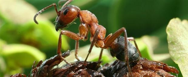 Formik asit, adını karıncadan alıyor!