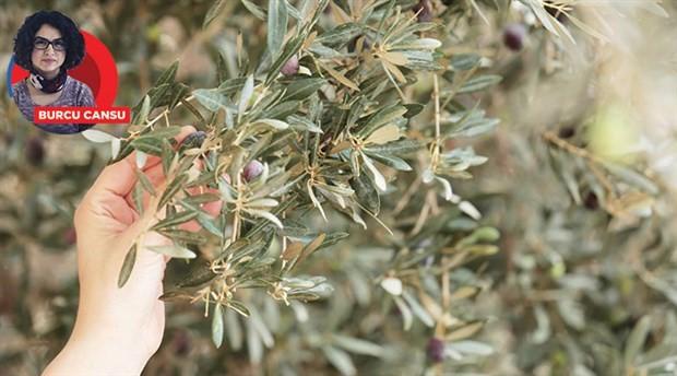 Uzlaşı açıklaması bir aldatmaca: Zeytinliklerin ölüm fermanı imzalandı