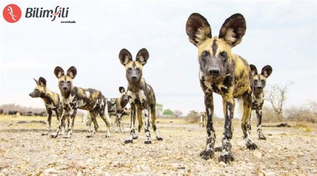 Yabani köpekler avlanmadan önce oylama yapıyor