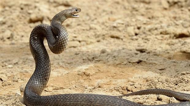 Köpeğini zehirli yılandan kurtarmaya çalışırken kendisi öldü