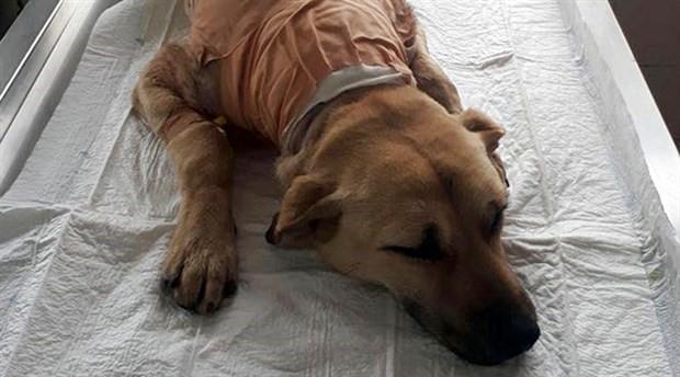 Kimliği belirsiz kişilerce boynu kesilen köpek hayata tutundu