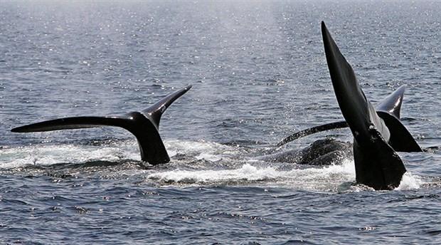 Kuzey Atlantik Balinaları yok olma tehlikesiyle karşı karşıya