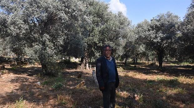 Yörük geleneği mezarlığı zeytinliğe dönüştürüyor