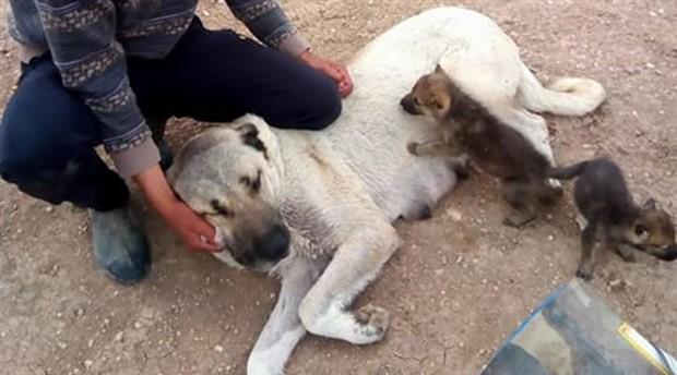 Kangal köpeği yetim kurtları emzirdi