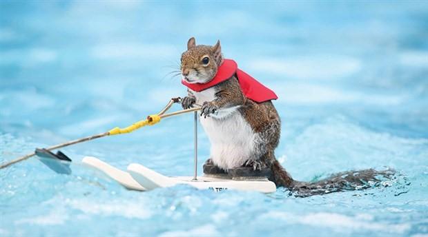 Su kayakçı sincap Twiggy emekli oluyor