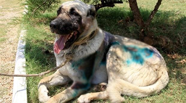 Otomobilin arkasında sürüklenen köpek tedavi ediliyor