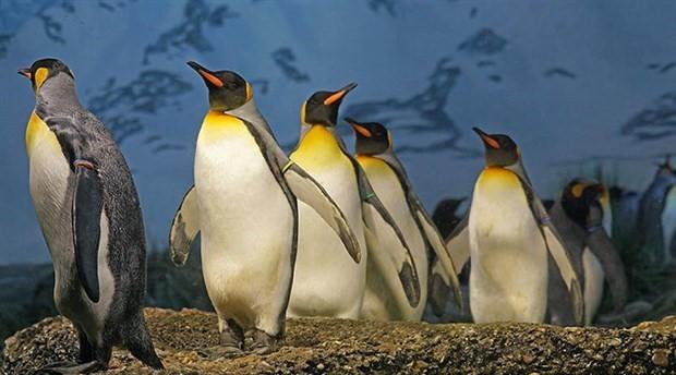 Kral penguenlerinnüfusu son 30 yılda yüzde 88 oranında azaldı