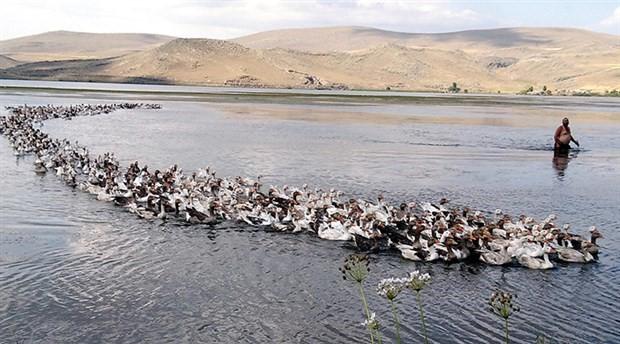 Kars'ta 800 kazla beraber yüzen adam yazın keyfini çıkarıyor