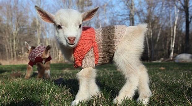 Isparta'da bir amatör kulüp, 18 futbolcu satıp 10 keçi aldı
