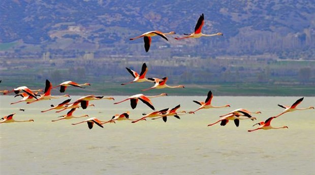 Ocakların kaçırdığı flamingolar döndü