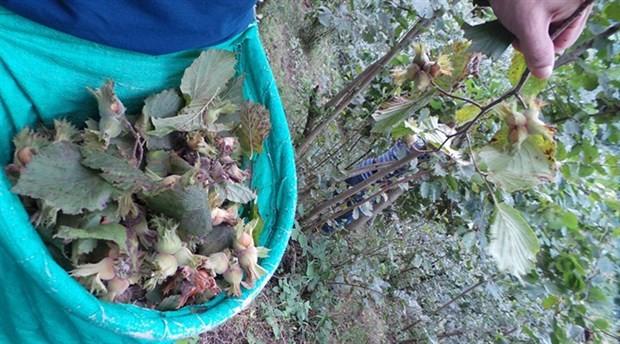 CHP'den hükümete 'fındık' tepkisi: Üreticiyi korumak için kılını kıpırdatmıyor