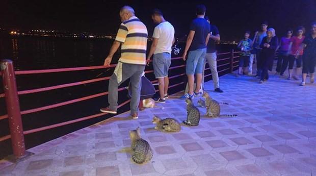 Kediler her akşam Değirmendere sahilinde balık bekliyor