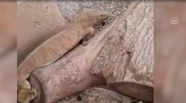 Urfa'da 'çöl varanı' bulundu