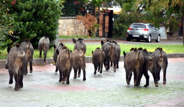 Bodrum'da yaban domuzları şehre indi