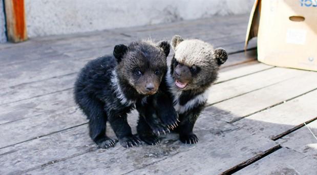 Rusya'da polis 'otelde ayılar var' ihbarı üzerine harekete geçti