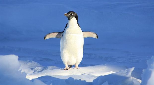 Binlerce bebek penguen, buz tabakasının parçalanması nedeniyle boğularak öldü