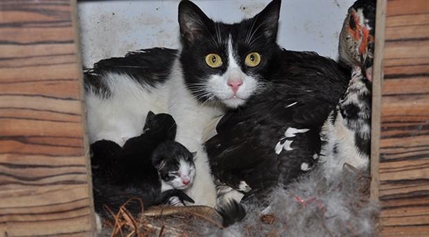 Kedi ve ördek, yavruları birlikte büyütüyor