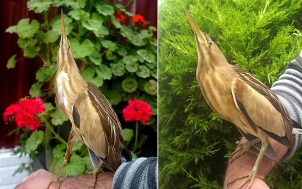 Manisa'da nesli tükenmekte olan 'balaban kuşu' bulundu