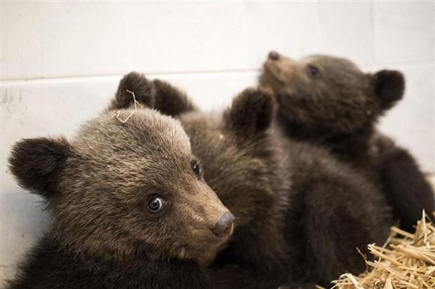 1 yıldır hayatta kalma eğitimi alan üç yavru ayı doğaya bırakıldı