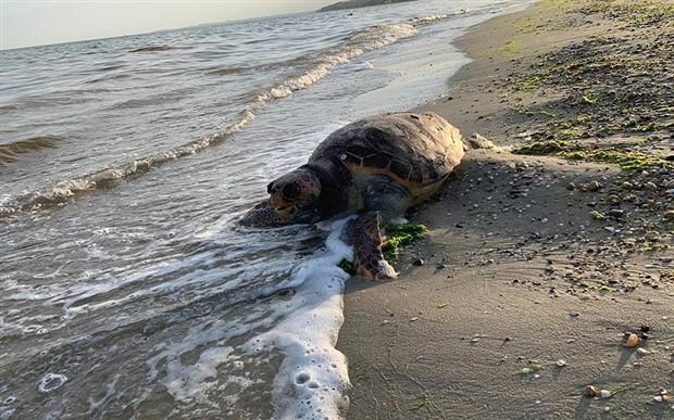 Silivri'de cansız caretta caretta kıyıya vurdu