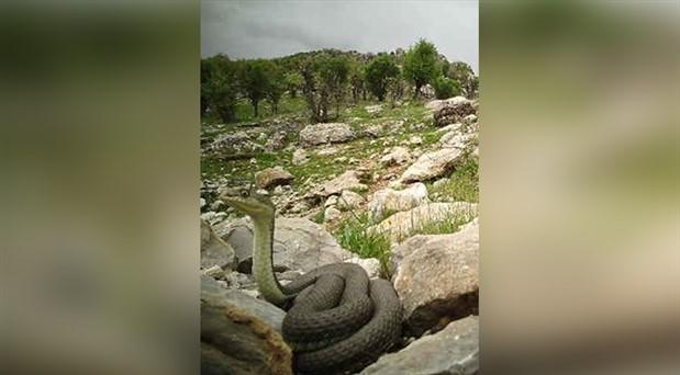 Güneydoğu'da 'fotokapan'la dev yılan görüntülendi