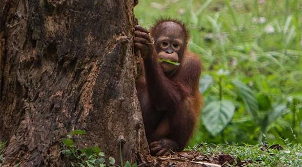 Palmiye yağı doğaya da sağlığa da zararlı