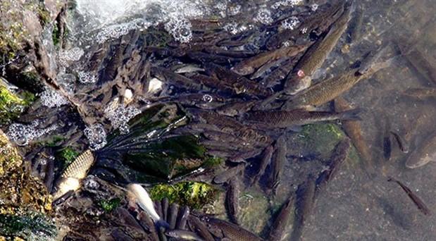 Şeytan Deresi'nde binlerce balık ölü bulundu