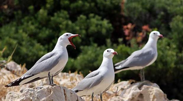 Kalkan'da koruma altındaki  ada martıları görüldü