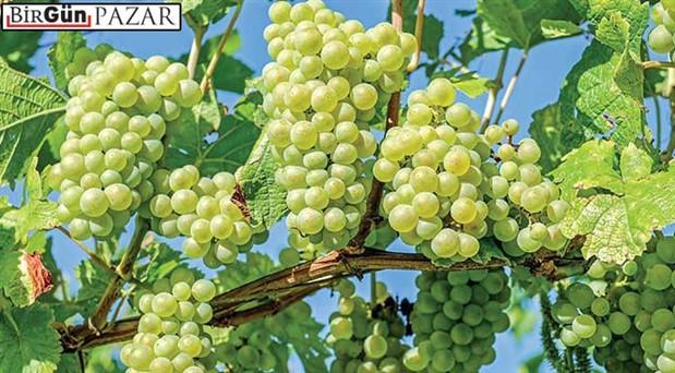 Anadolu'nun değerli beyaz üzümleri