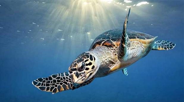 Deniz kaplumbağalarının ölüm nedenleri: Balıkçı ağları, misinalar, plastik poşetler…