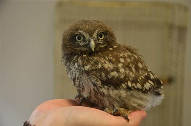 Beylikdüzü'nde bulunan yavru baykuş koruma altına alındı