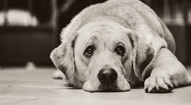 Köpeklerin 'üzgün' bakışı, insanların ilgisini çekmek için evrilmiş