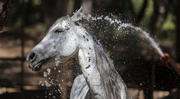 Antalya'da faytonlardan kurtarılan atlar özel bakımda