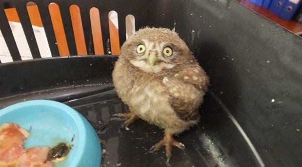 Muhtar sokakta bulduğu yavru baykuşa sahip çıktı