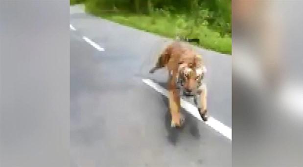Otoyola çıkan kaplan, motosiklet kovaladı