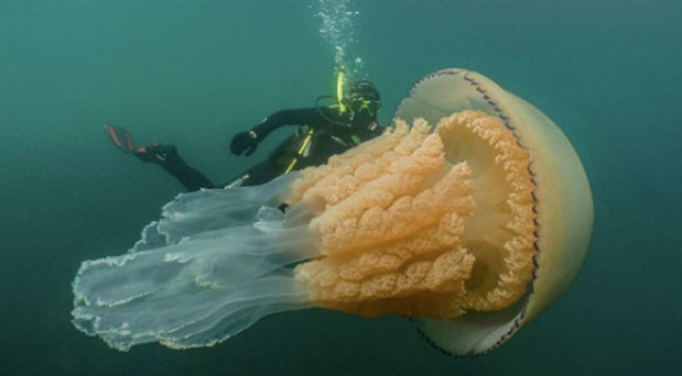 İngiltere'de devasa denizanası görüldü