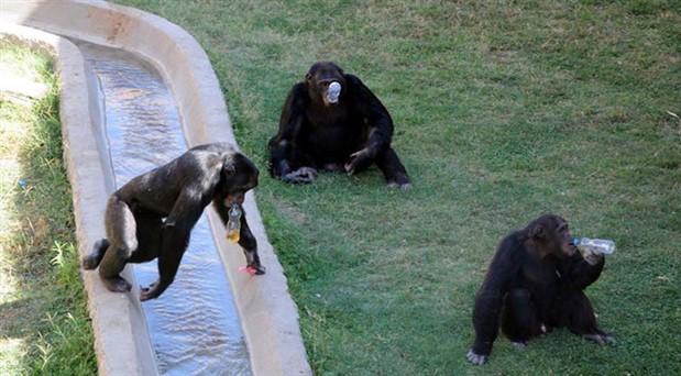 Birlikte video izleyen şempanzeler arasında yakınlık bağı daha güçlü oluyor