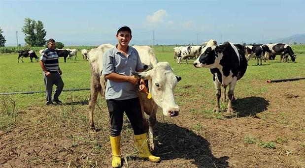 Süt üreticileri zor durumda: İneklerini kasaplara satıyorlar