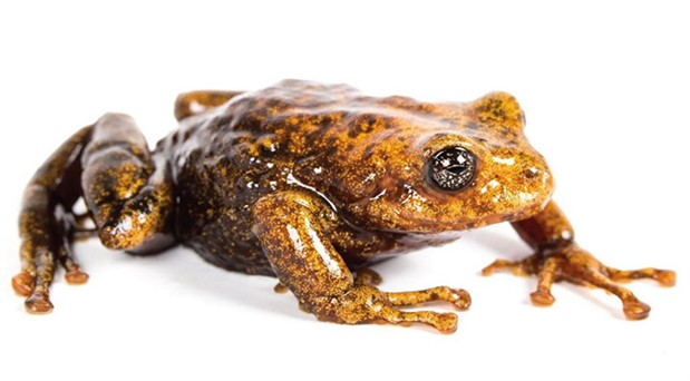 Ekvador'da 11 yeni kurbağa türü keşfedildi