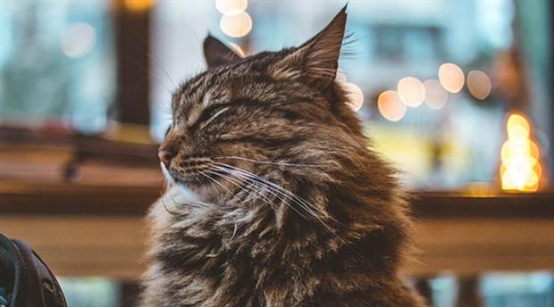 Riga belediye başkanı istifa etti, ofisindeki kedilerin akıbeti referandumla belirlenebilir