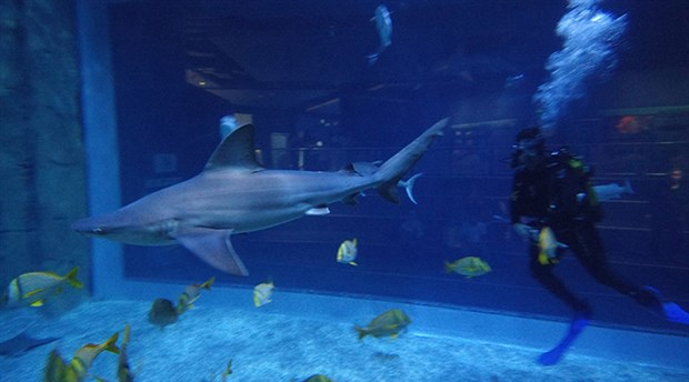 70 köpek balığı akvaryumda tutuluyor