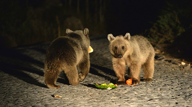 Nemrut Krater Gölü'nde ayı yavruları geziyor