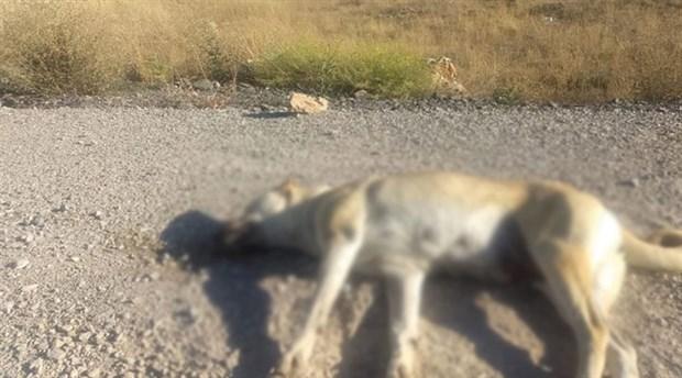 Ankara İncek'te yine köpek zehirlediler