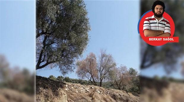 Aydın'da şirket ağaçları asitle kurutmuş