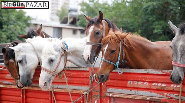 Bir atın acı öyküsü ve hayvan hakları kanunu
