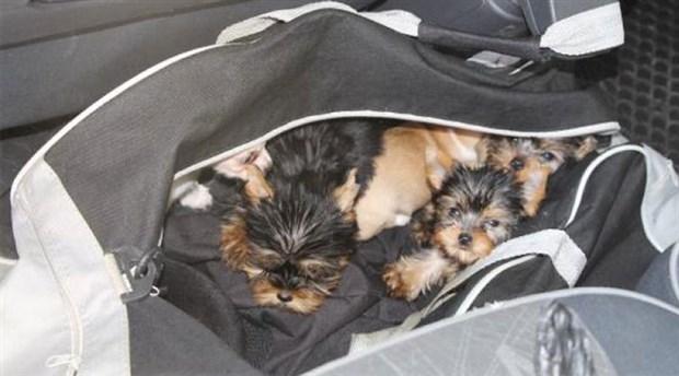 Çanta içinde Türkiye'ye sokulmak istenen 11 köpek HAYTAP'a teslim edildi