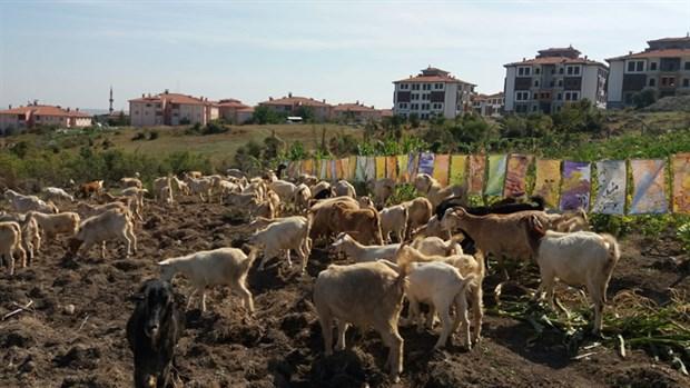 Keçilere sergi açtı