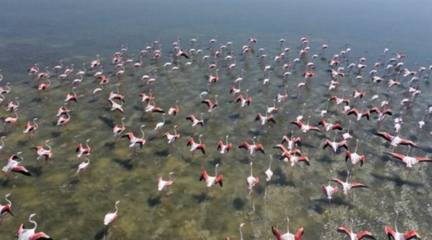 Serçin'e flamingo akını