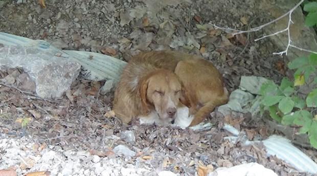 Sinop'ta 30 köpek ölüme terk edildi
