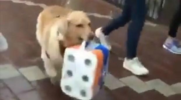 Sağanak yağış altında poşet taşımaya yardım eden köpek gündem oldu